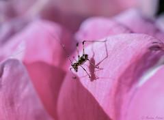 Light & Shadow (martinap.1) Tags: rose nikon nikond3300 nikon40mmmacro nature natur grasshopper blume blüte blossom babygrasshopper shadow grashüpfer light licht schatten makro macro insect insekt rosa pink lightshadow