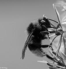 The Murmur of a Bee (PhilR1000) Tags: bee macro bw blackwhite explored westgreenhouse nationaltrust
