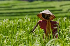 IMG_0580 (Ela&Piotr) Tags: bali indonesia indonezja jatiluwih ricefields