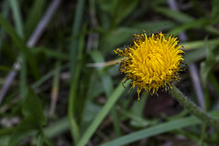Burned Dandelion (adamopal) Tags: canon canon5d canon5dmkiii canon5dmarkiii burneddandelion dandelion2017 notaweed burnination burned dandelion weed flower nature macro fauxmacro yellow green black