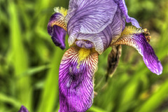 Iris (macnetdaemon) Tags: canon 7d markii outside nature outdoor iris purple green