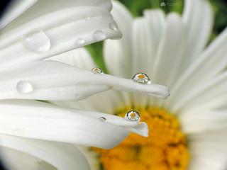 Daisy Drops... Macro Mondays - Drips, Drops and Splashes...