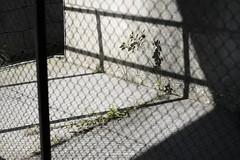 _DSF7940_ORIGINAL-FORMAT (izumi masakazu) Tags: streetsnap fence plant spotlight shadow silhouette concrete フェンス 植物 草 木 樹 スポットライト 影 シルエット コンクリート color