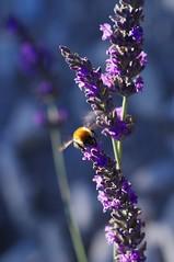 IMGP1702 (MEF2000) Tags: macro lavander lavande provence abeille bees champs alpesdehauteprovence