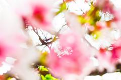 DSC_4490 (Frankie Tseng (法蘭基)) Tags: yms taipei taiwan flower flowers nikon cherryblossoms summer spring 2017 abstract blur bw bwphotography blackwhite yangmingshan 台北 櫻花 陽明山 台灣 抽象