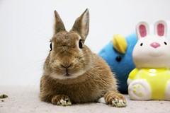 Ichigo san 733 (Ichigo Miyama) Tags: いちごさん。うさぎ ichigo san rabbitbunny netherlanddwarf brown ネザーランドドワーフ ペット いちご うさぎ rabbit