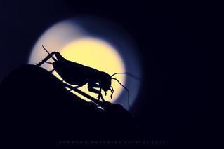 Nighthunter (HMM)