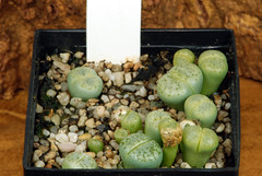 5 juin 2017 - Lithops julii 'Peppermint Crème' ex-C349A, 186 jours (Mafate79) Tags: 2017 lithopsjuliipeppermintcrèmeexc349a aizoaceae aizoacées aizoacée mesemb mesembryanthemaceae mesembryanthemacées mesembryanthemacée plante semis
