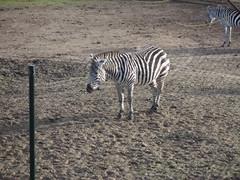 Zebra (www.rubenholthuijsen.nl) Tags: zebra zoo beeksebergen netherlands hilvarenbeek 2011