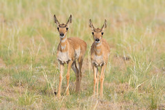 Twins (Amy Hudechek Photography) Tags: baby twins nature wildlife amyhudechek colorado pronghorn