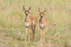 Twins (Amy Hudechek Photography) Tags: baby twins nature wildlife amyhudechek colorado pronghorn nikond500