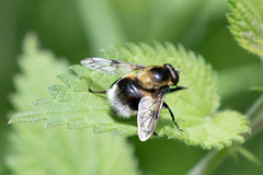 Hoverfly  (Volucella bombylans) Explored (Happy snappy nature) Tags: hoverfly detail closeup insect nature wildlife outdoors sunnyday shropshire