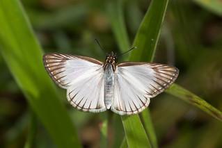 Veined White-skipper (Heliopetes arsalte)