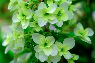 Hydrangea Quercifolia (Oak Hydrangea) : カシワバアジサイ (柏紫陽花)