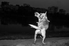 Dhaka | 2017 (Sohail Bin Mohammad) Tags: street streetphotography unposed dogs intense moment decisivemoments bnw blackandwhite blackandwhitephotography urbanstreetphotography flash explore explorer dhaka bangladesh sohailbinmohammad