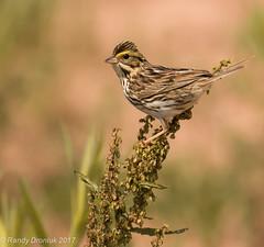 Savannah Sparrow (rdroniuk) Tags: birds passerines sparrows savannahsparrow passerculussandwichensis oiseaux passereaux bruant bruantdesprés