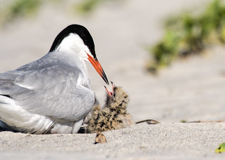 Nickerson Beach: Common Tern and Demanding Child