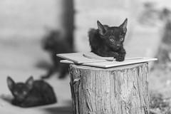 Catz! (aliffc3) Tags: cats kittens nikond750 nikkor300mmf4ed