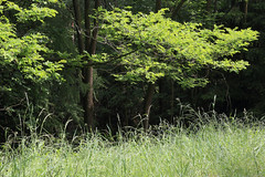 Germany - Kellerwald-Edersee National Park (Michael.Kemper) Tags: canon eos 6d canoneos6d ef 70200 f4 l usm canonef70200f4lusm germany deutschland hessen hesse nationalpark np national park kellerwald edersee kellerwaldedersee nationalparkkellerwaldedersee forest baum bäume tree trees grün green wald sommer summer landkreis waldeckfrankenberg waldeck frankenberg buchenwald beech eder see lake gras gräser grass grasses ringelsberg ringelsbergroute route track wanderung wandern hike hiking waldecker land waldeckerland unesco world heritage weltnaturstätte