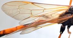 25 mm female ichneumon (ophis) Tags: hymenoptera parasitica ichneumonoidea ichneumonidae anomaloninae gravenhorstiini therion ichneumon