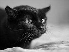 Pippa aufgepasst... mit Merle ist heute nicht gut Kirschen essen. :-) (Vintage lens lover (slowly catching up)) Tags: merle katze schwarz cats animals olympus sw bw zuiko m43 microfourthirds