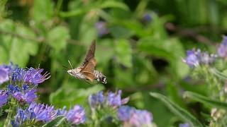 Taubenschwänzchen. Der Kolibri unter den Schmetterlingen