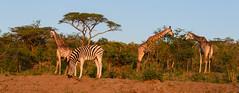 Hluhluwe–Imfolozi Park, South Africa (GlobeTrotter 2000) Tags: africa hluhluwe imfolozi south southafrica gamedrive giraffe holidays park safari tourism travel visit wildlife zebra