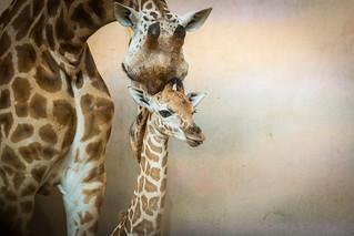 Giraffish snuggle