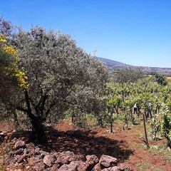 Photo (fischettiwine) Tags: tenuta moscamento cutting binding leaves manualjob takethesun alberello oldvineyard sicily vulcanoetna unesco wineproducer etnadoc muscamento wine winelover winetasting tour summer grapes🍇 nerellomascalese nerellocappuccio carricante catarratto distributor highqualitywine numberonthebottle sommelier hotels chef naturalwinelover