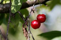 Kirschen aus Nachbars Garten (Wolle550) Tags: wolle550 kirschen kernobst