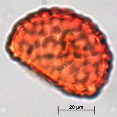 s13ii - Polypodiaceae / Davalliaceae? (seasiapollen) Tags: ltdp spore s13ii monad medium large oblate rugulate