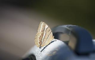 Butterfly. Stichophthalma howqua formosana