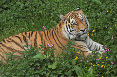amurtiger taymir Ouwehands JN6A3753 (joankok) Tags: tiger tijger amoertijger amurtiger siberischetijger siberiantiger pantheratigrisaltaica ouwehands kat cat mammal zoogdier dier animal asia azie