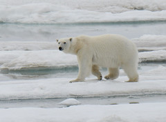 A young polar bear walking on sea ice (takashimuramatsu) Tags: polar bear polarbear arcticantarctica svalbard cruise lindblad expeditions