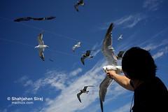 Unity (shahjahansiraj.com) Tags: sado island japan seagulls seagull bird joy happiness love travel geotagged
