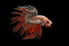 Crowntail Betta (da nokkaew) Tags: isolated aquatic aggressive tropical ballet chinese fin tail power pose swimming fighting dancer luxury aquarium freshwater scale cute elegant dress flame biology color crowntail betta motion beauty alone thailand asia ferocious halfmoonbetta siamese art hobby beta background domestic water space fish nature pet exotic eye action animal pop macropodinae osphronemidae