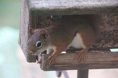 Red Squirrel at the Birdfeeders (Saline, Michigan) - June 3rd & 4th, 2017 (cseeman) Tags: redsquirrel feeder birdfeeder perch squirrel saline michigan redsquirrel06042017 spring hungry squirrelfeeder
