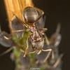 BlackGardenAnt-0001.jpg (vorneo) Tags: commonblackant ant familyformicidae wild orderhymenoptera subfamilyformicinae specieslniger phylumarthropoda blackgardenant binomialnamelasiusniger insect kingdomanimalia genuslasius classinsecta