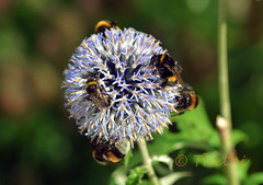 160730 nfiH 170706 © Théthi (thethi (pls read my first comment, tks)) Tags: nature sauvage fleur echinops insecte bourdon hoegaarden flandre belgique belgium ruby10 faves59