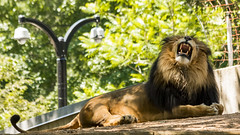 Lion King (JLyn Nature Photography) Tags: nationalzoo fonz smithsonianinstitute adobe photoshop pscc canon 70d lion lionking