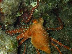 Callistoctopus macropus (Cositos :)) Tags: octopus macropus pulpo snorkel fire worm gusano de fuego lentas grecia greece crete island creta olympus tg4 macro underwater photography fotografía submarina