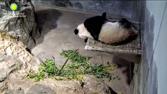 2017_07-10b (gkoo19681) Tags: beibei chubbycubby fuzzywuzzy adorableears naptime dangling notcomfy sillygoober justbecausehecan toofunny ccncby nationalzoo