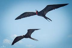 Frigate Bird Couple Flying (pbmultimedia5) Tags: frigate bird fly sky ecuador galapagos national park wildlife pbmultimedia