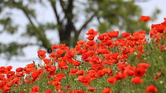 la collina dei papaveri (_Nick Photography_) Tags: papaveri poppies lacollinadeipapaveri poppieshill nickphotography poppiesblooming flowering beauty red reds bokeh sfocato redhill