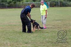 GSD-4442 (jim_lamy) Tags: gsd ipo germanshepherd schutzhund workingdog