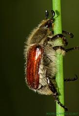 Anisoplia villosa - (Goeze. 1777) - Rutelinae - COURS 34 - FRANCE (michel-candel) Tags: anisoplia villosa goeze 1777 rutelinae cours 34 france