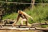 Gibbon (Carahiah) Tags: parcanimalierdesaintecroix saintecroix nature animaux gibbon peur apeuré regard fuite