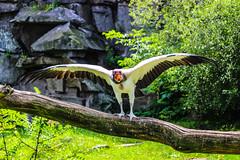 Tierpark Berlin (sebbofoto) Tags: vogel geier berlin tierpark canoneos600d