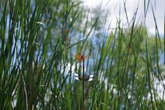 dead horse ranch- dragonflies (EllenJo) Tags: pentaxk1 july 2017 ellenjo arizona verdevalley dragonflies deadhorseranchstatepark verderiver cottonwood summerinarizona az river riparian 86326