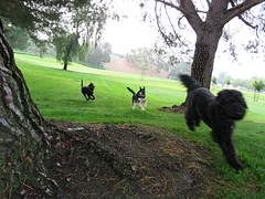 Zooming through the park (Bennilover) Tags: benni labradoodle zoomies running park dislike germanshepherd dogs dog playing fighting growling tee standardpoodle explore